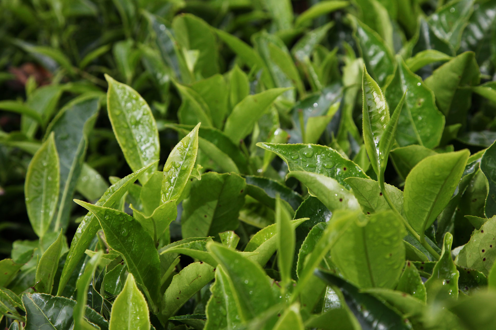 Photograph of Tea Leaves